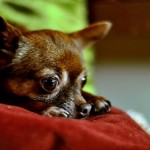 Ojos de chihuahua