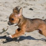 Cachorro chihuahua corriendo