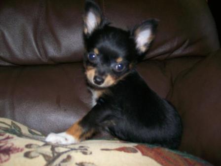 chihuahua en sofa