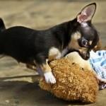 Chihuahua mordedor
