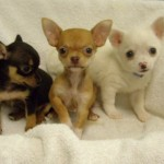 Cachorros chihuahuas
