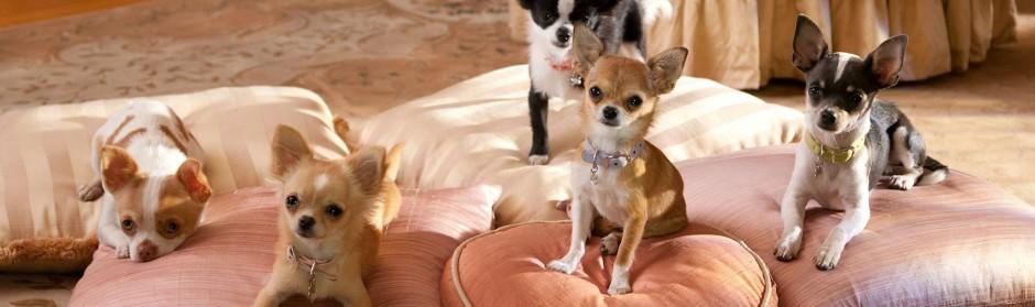 Cómo Detener Los Ladridos De Un Chihuahua Chihuahuapedia