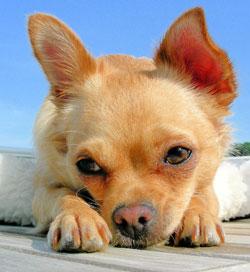 chihuahua triste